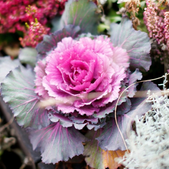 zierkohl winterpflanze herbstdeko