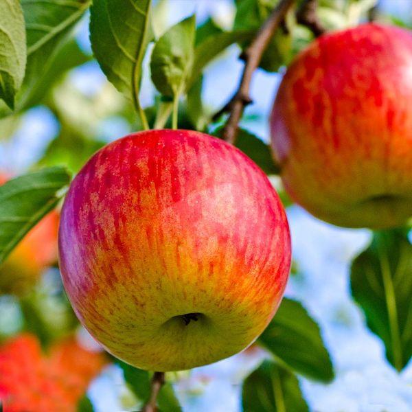 Äpfel sind gesund Apfelbaum pflanzen