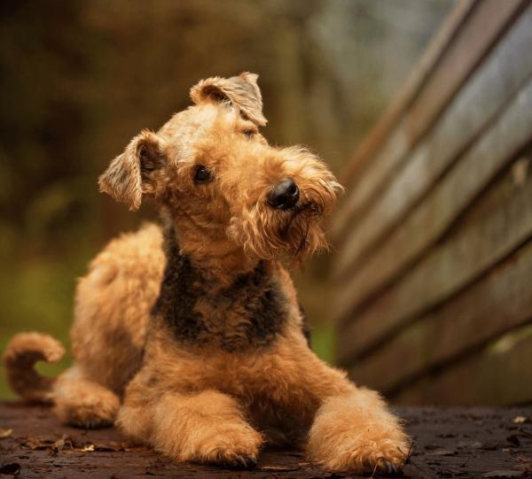 4 mittelgroße Hunde, in die Sie sich sofort verlieben werden airedale terrier england familienhund