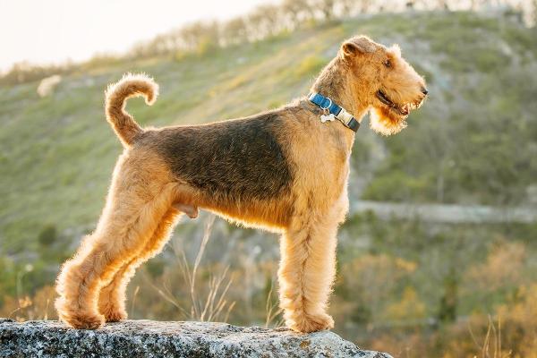 4 mittelgroße Hunde, in die Sie sich sofort verlieben werden airedale terrier groß schön