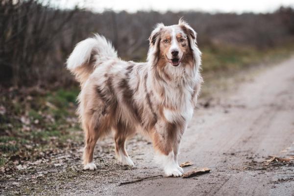 4 mittelgroße Hunde, in die Sie sich sofort verlieben werden aussie australian shepher viel auslauf
