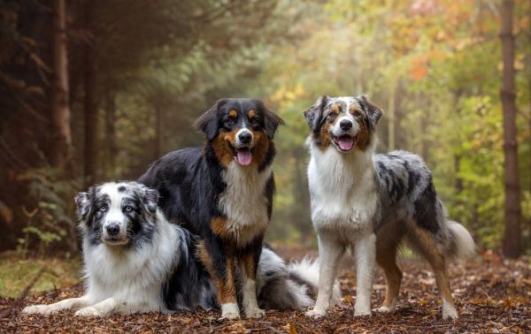 4 mittelgroße Hunde, in die Sie sich sofort verlieben werden australian shepherd merle farben unterschiede