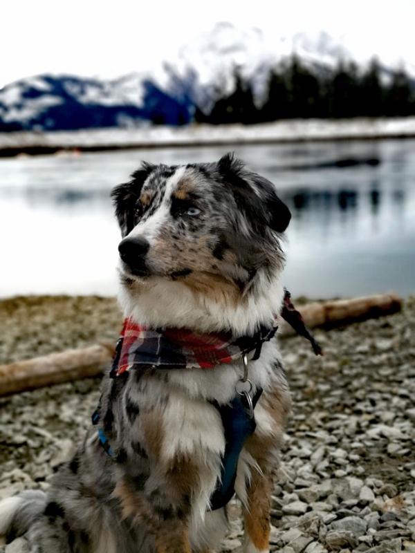 4 mittelgroße Hunde, in die Sie sich sofort verlieben werden australian shepherd sheltie merle