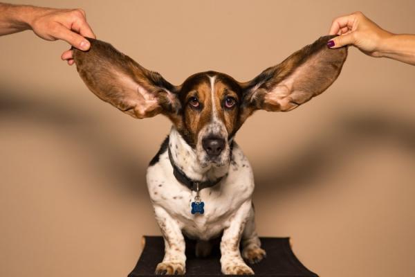 4 mittelgroße Hunde, in die Sie sich sofort verlieben werden basset hound bloodhound große ohren