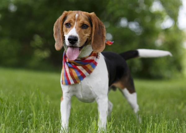 4 mittelgroße Hunde, in die Sie sich sofort verlieben werden beagle familienhund niedlich