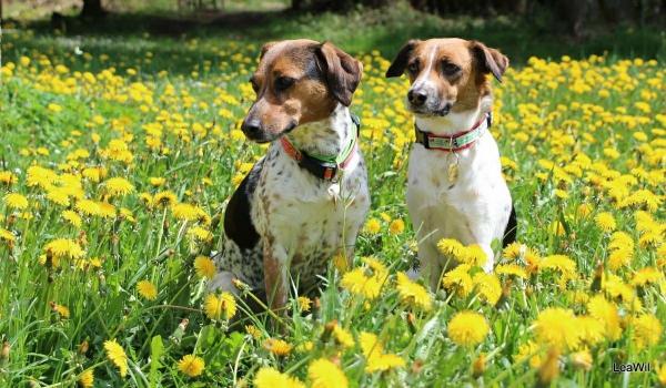 4 mittelgroße Hunde, in die Sie sich sofort verlieben werden bohemian Czech spotted dog hunderasse