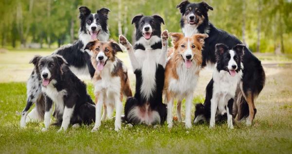 4 mittelgroße Hunde, in die Sie sich sofort verlieben werden border collie intelligent sporthund