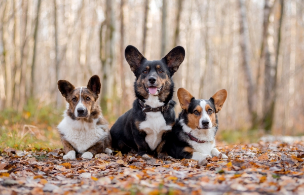 4 mittelgroße Hunde, in die Sie sich sofort verlieben werden cardigan corgi unterschiede schön