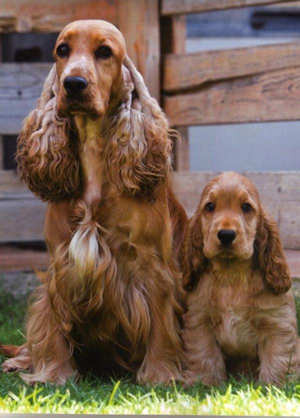 4 mittelgroße Hunde, in die Sie sich sofort verlieben werden cocker spaniel mit welpe