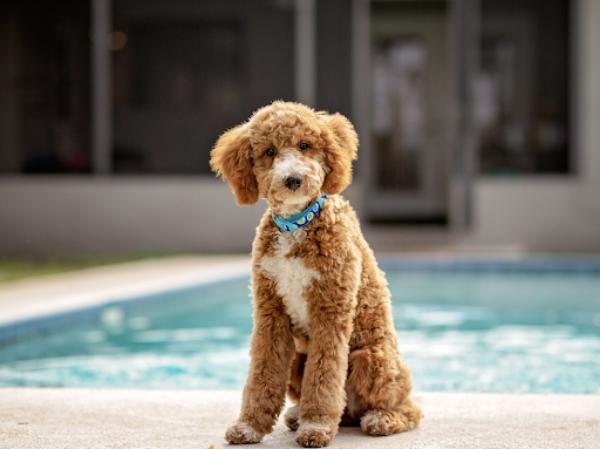 4 mittelgroße Hunde, in die Sie sich sofort verlieben werden poodle mittelgroß braun