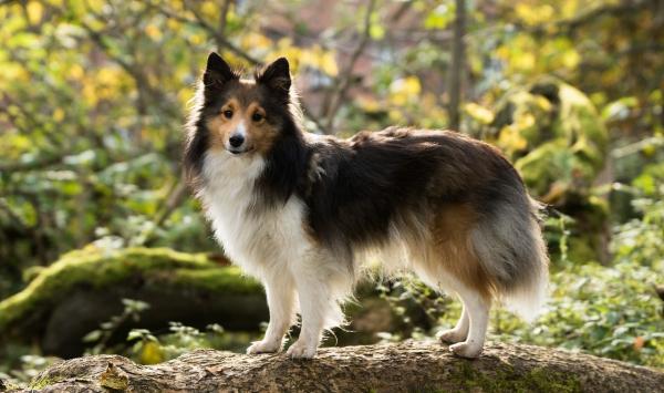 4 mittelgroße Hunde, in die Sie sich sofort verlieben werden sheltie collie niedlich klein