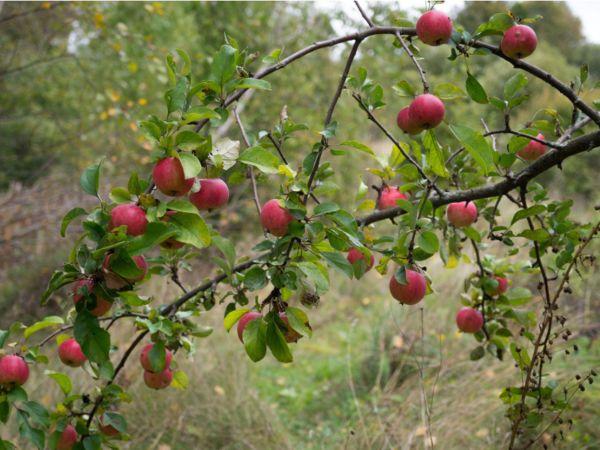 Apfelbaum pflanzen Apfelbaum mit Früchten