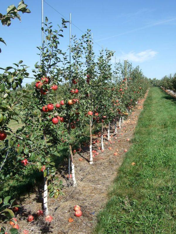 Apfelbaum pflanzen mehrere Bäume Garten Ideen