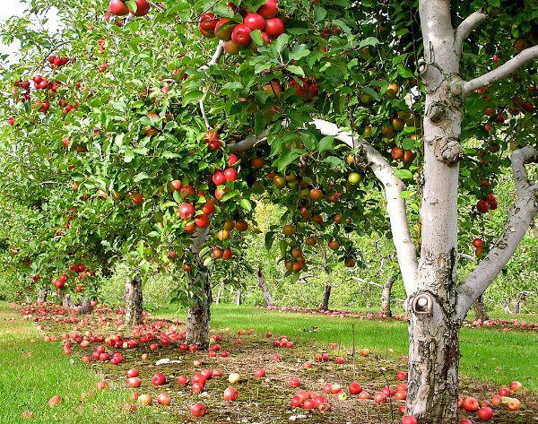 Apfelbaum pflanzen - schöne Apfelbäume im Wald