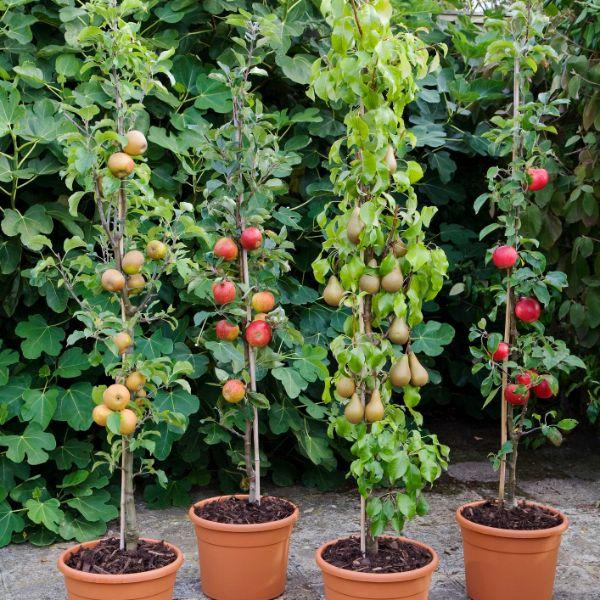 Apfelbaum pflanzen - unterschiedliche große Pflanzen