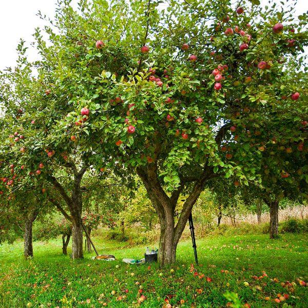 Ideen für die Gartengestltung Apfelbaum pflanzen