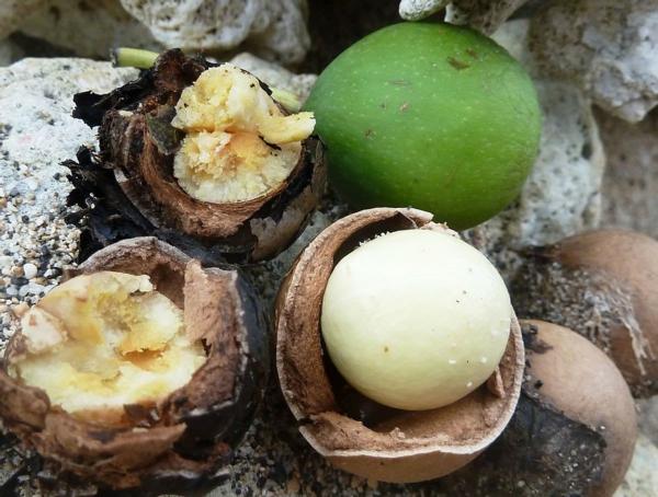 Tamanu Öl Polynesien Baumart Tamanu Früchte und Kerne