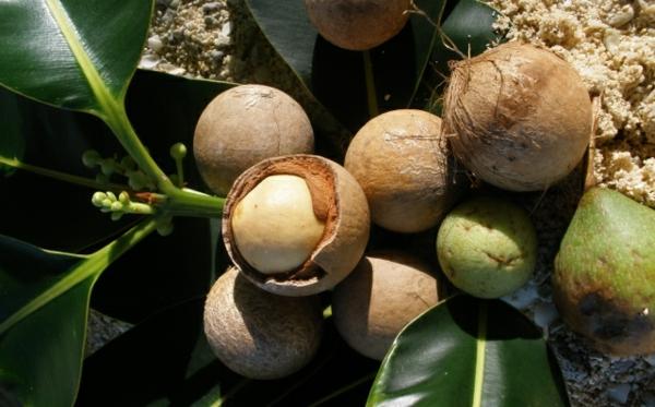 Tamanu Öl Polynesien Tamanu Baum Früchte trocken lassen