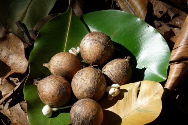 Tamanu Öl Polynesien Tamanu Baum Früchte