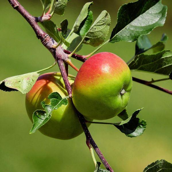Tolle Ideen - einen Apfelbaum pflanzen
