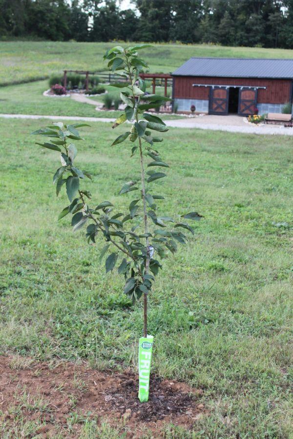 Wiese mit einem Apfelbaum Apfelbaum pflanzen