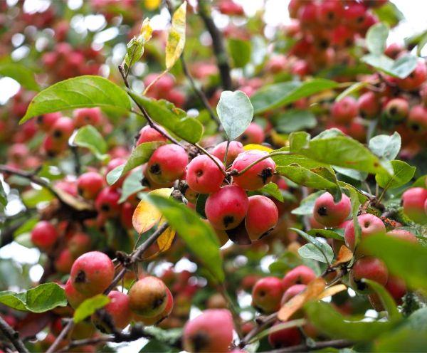 mehrere gesunde Äpfel Apfelbaum pflanzen