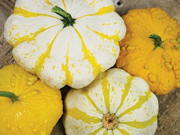 patisson kürbissorten gelb weiß