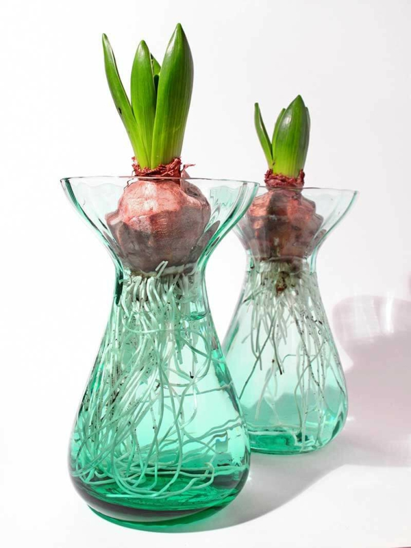 Amaryllis im Glas Amarylliszwiebeln im Wasser