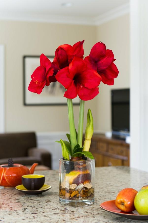 Amaryllis im Glas Blüten rot Zimmerpflanzen Amarylliszwiebeln