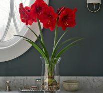 Amaryllis im Glas: Genießen Sie die wunderschöne Zwiebelpflanze in Ihrem eigenen Zuhause