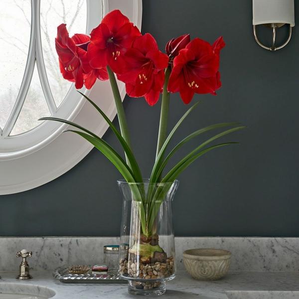 Amaryllis im Glas Licht blühende Zimmerpflanzen
