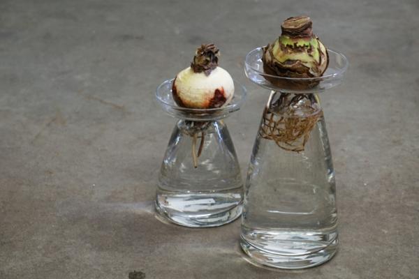 Amaryllis im Glas Pflegetipps Amarylliszwiebelnim Wasser