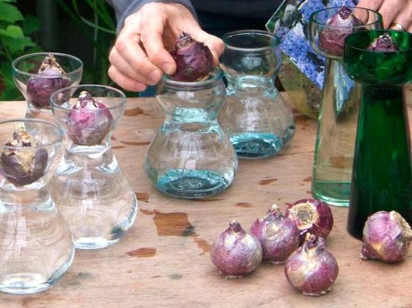 Amaryllis im Glas Pflegetipps Zimmerpflanzen Amarylliszwiebeln