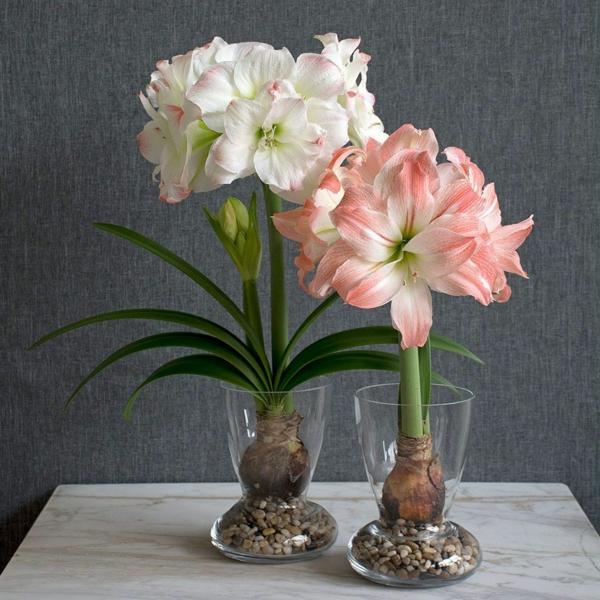Amaryllis im Glas Pflegetipps blühende Zimmerpflanzen Amarylliszwiebeln