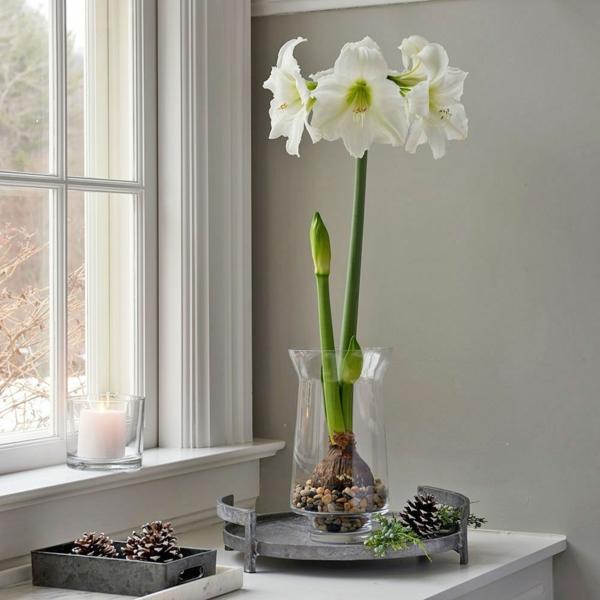 Amaryllis im Glas Pflegetipps blühende Zimmerpflanzen Fensterbrett