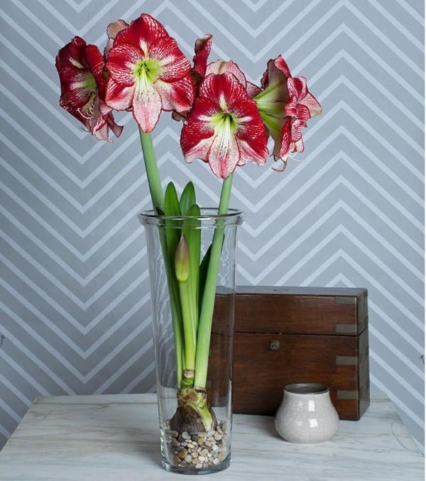 Amaryllis im Glas Pflegetipps blühende Zimmerpflanzen