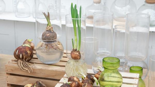 Amaryllis im Glas Tipps Amarylliszwiebeln im Wasser