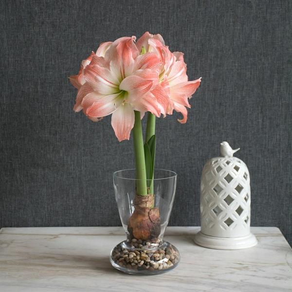 Amaryllis im Glas blühende Zimmerpflanzen pflegeleicht
