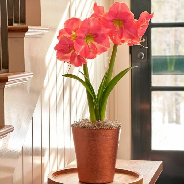 Amaryllis im Glas blühende Zimmerpflanzen