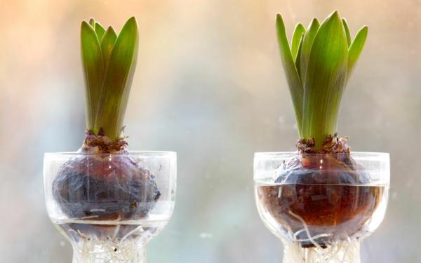 Amaryllis im Glas Amarylliszwiebeln im Wasser geben
