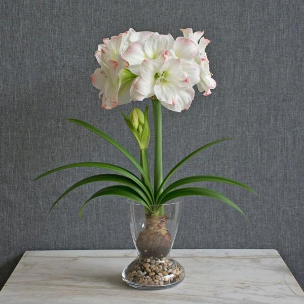 Amaryllis im Glas pflanzen blühende Zimmerpflanzen