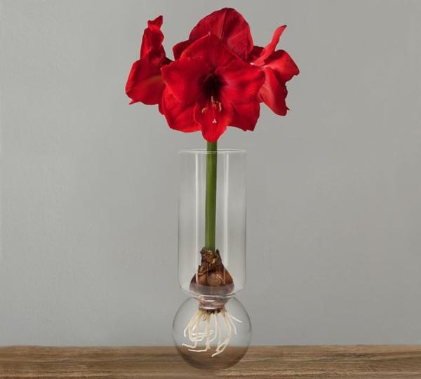 Amaryllis im Glas rote Blüten