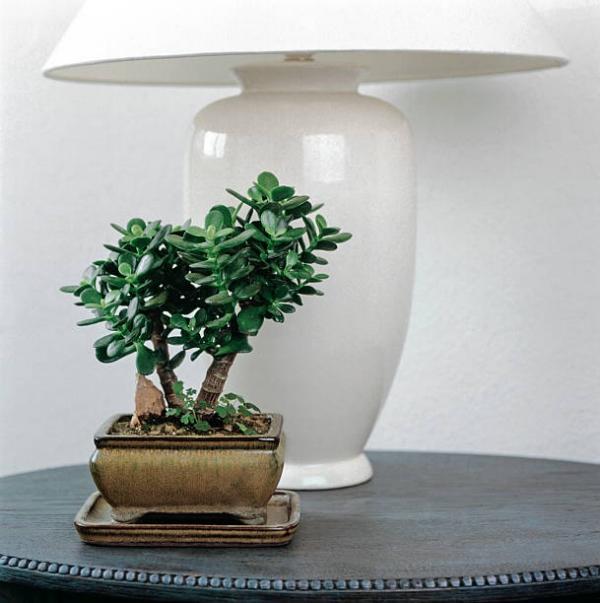 Συμβουλές φροντίδας δέντρων χρημάτων, ενδιαφέροντα γεγονότα και οι κανόνες φενγκ σούι για φυτά εσωτερικού χώρου μπονσάι