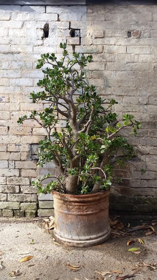 Geldbaum Pflege Tipps, Wissenswertes und Feng Shui Regeln große topfpflanze hoch