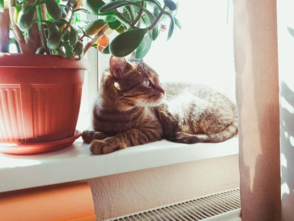 Συμβουλές φροντίδας δέντρων χρημάτων, πράγματα που πρέπει να γνωρίζετε και ο Φενγκ Σούι κυβερνά τις γάτες δηλητηριώδη κατοικίδια ζώα