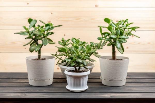 Συμβουλές φροντίδας δέντρων χρημάτων, πράγματα που πρέπει να γνωρίζετε και ο Φενγκ Σούι κυβερνά μικρά φυτά στο δωμάτιο γλάστρες