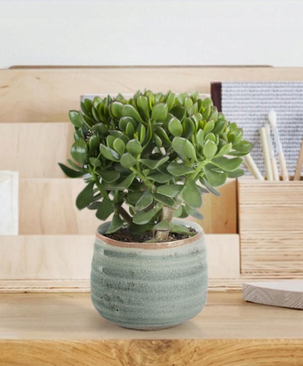 Geldbaum Pflege Tipps, Wissenswertes und Feng Shui Regeln schöne kleine zimmerpflanze rustikaler topf