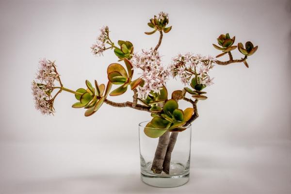 Συμβουλές φροντίδας, ενδιαφέροντα γεγονότα και ο κανόνας του Φενγκ Σούι διαδίδεται σε άνθη αγγείων