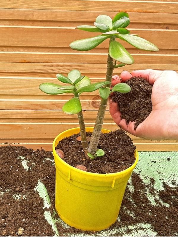 Συμβουλές φροντίδας δέντρων με χρήματα, πράγματα που πρέπει να γνωρίζετε και Feng Οι κανόνες του Shui για την επαναφορά φυτών εσωτερικού χώρου