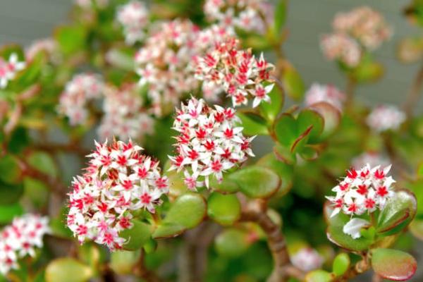 Συμβουλές φροντίδας δέντρων χρημάτων, πράγματα που πρέπει να γνωρίζετε και κανόνες Feng Shui Κανόνες εσωτερικού φυτού σε άνθος ροζ λευκό